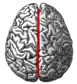 Longitudinal fissure - The human brain as viewed from above. Medial longitudinal fissure visible in red, running top to bottom.