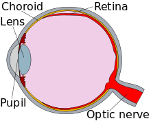 Diagram of an eye, in cross-section.