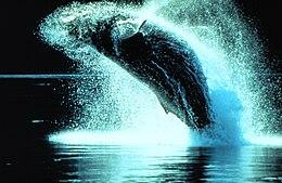 Hosszúszárnyú bálna (Megaptera novaeangliae)