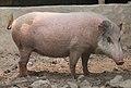 Hybrid bearded pig.jpg