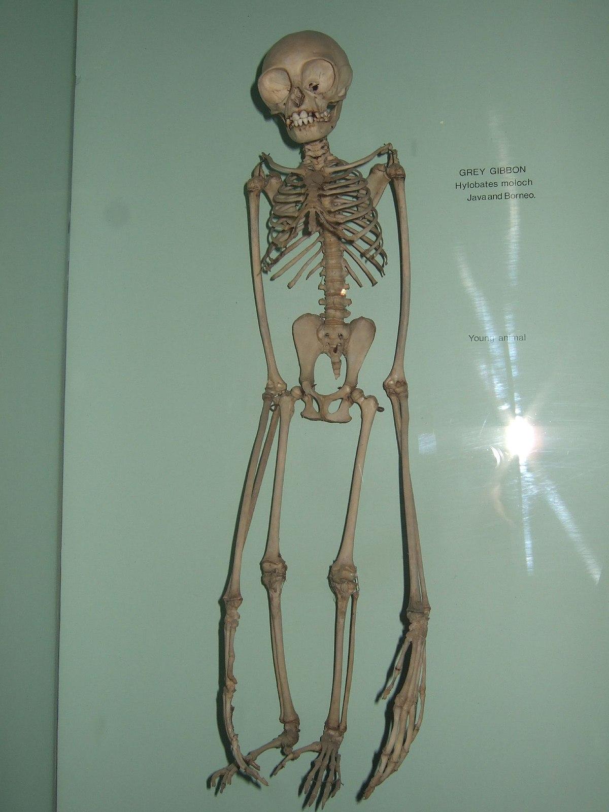 Hylobates moloch skeleton.jpg