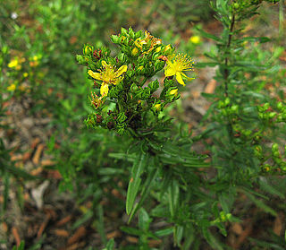 <i>Hypericum sphaerocarpum</i> species of plant