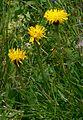 Hypochaeris uniflora IP0908024.jpg