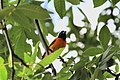 Icterus galbula -Baltimore, Maryland, USA -male-8.jpg