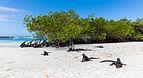 Iguanas marinas (Amblyrhynchus cristatus), Bahía Tortuga, isla Santa Cruz, islas Galápagos, Ecuador, 2015-07-26, DD 28.JPG