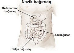 Illu small intestine az.jpg