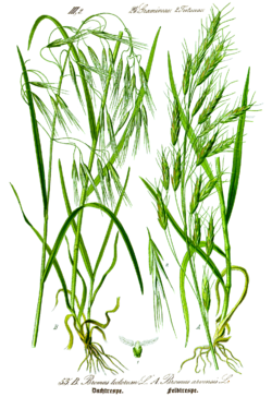 Illustration Bromus tectorum0 clean.png