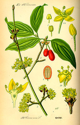 Kornelkirsche (Cornus mas), Illustration.