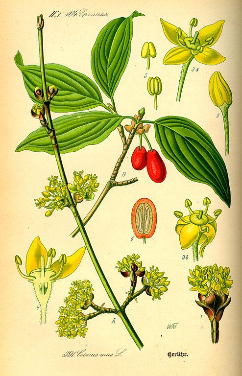 Illustration of European Cornel (Cornus mas) from Flora von Deutschland, Österreich und der Schweiz by Prof. Dr. Otto Wilhelm Thomé, Gera, 1885, Wikimedia Commons, PD-old.