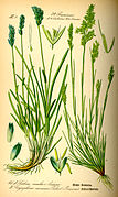 Illustration Sesleria albicans0.jpg