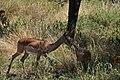 Impala, Tarangire National Park (4) (28100803493).jpg