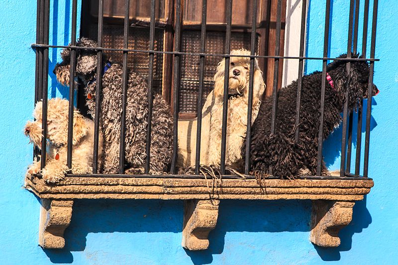 File:In Antigua Guatemala-are they gaurd dogs…or just people watchers? (6849903828).jpg