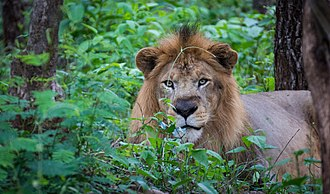 Shimoga - Image: Indian Lion at Tyavarekoppa Tiger and Lion Reserve, Karnataka, India