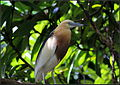 Indian Pond Heron2.jpg