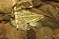 Indian bull frog IMG 2348.jpg