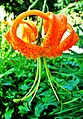 Inverted orange flower at Niagara Park - panoramio.jpg