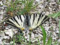 Iphiclides podalirius, Spomenik prirode Slapovi Sopotnice, Srbija (14).jpg