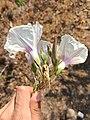 Ipomoea longifolia (Convolvulaceae) - Flores.jpg