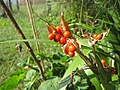 Iris foetidissima-capsule-3.jpg
