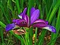 Iris graminea 003.JPG