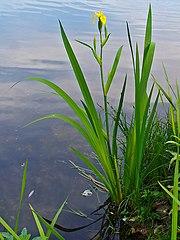 Kosatec žltý (lat. Iris pseudacorus)