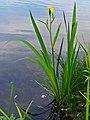 Iris pseudacorus 0001.JPG
