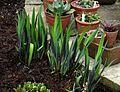 Iris x robusta Gerald Darby - Flickr - peganum (1).jpg