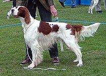 Irish Red And White Setter 2005.jpg
