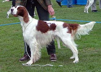 Irish Red and White Setter - Image: Irish Red And White Setter 2005