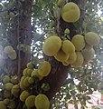 Jack fruit tree1.jpg
