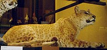 This stuffed jaguar/lion hybrid from the Rothschild Museum in England is the closest we have to an impression of how the so-called Congolese spotted lion may have looked.