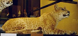 Congolese spotted lion - This stuffed jaguar/lion hybrid from the Rothschild Museum in England is the closest we have to an impression of how the so-called Congolese spotted lion may have looked.