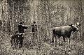 Jakt på utstoppet elg.jpg