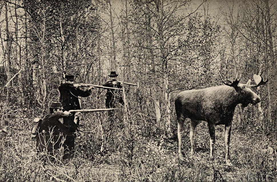 Jakt på utstoppet elg