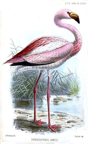 James's flamingo - Illustration by J. G. Keulemans (1886)