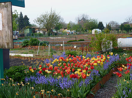 Allotments in Tourcoing (Nord), France. In the background, the church Notre-Dame de la Marliere Jardins familiaux Tourcoing J1.JPG
