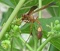 Jatropha curcas with paper wasp (4350779540).jpg