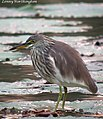 Javan Pond Heron Ardeola speciosa (Horsfield, 1821) winter plumage (15732476754).jpg