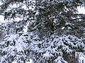 Julie's Tree Fresh Snow (2152696346).jpg