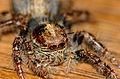 Jumping Spider (Salticidae) (16083275654).jpg