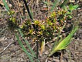 Juncusxiphioides.jpg