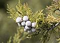Juniper berries - Ardıç tohumu.jpg