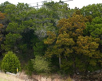 Juniperus ashei - J. ashei shedding pollen: mature male on right, immature tree on left, mature green females in background
