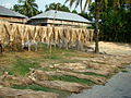 Jute Cultivation and Processing Bangladesh (5).JPG
