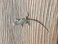Juvenile Collared Lizard in Payson Arizona.jpg