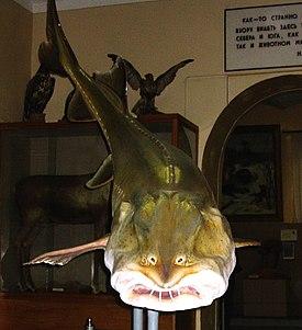 Калуга (рыба)