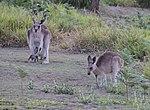 Kangaroos 1 (31132922061).jpg