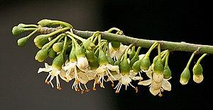 Ceiba pentandra - Image: Kapok flowers I IMG 2377