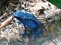 Ke - Dendrobates tinctorius azureus - 8.jpg