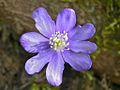Kidneywort (Hepatica nobilis) (8335792011).jpg